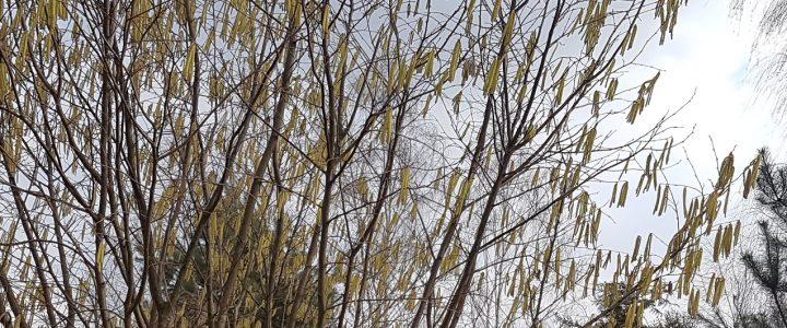Odczulanie pyłków – nowe podejście KTT